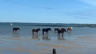 Wild Horses on Shackleford Banks, N.C. - Could this be my next writing topic for historical fiction or a scholarly paper?